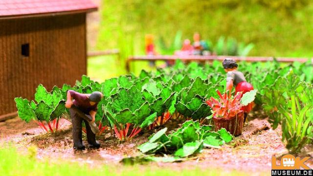 Rhabarber 6 Pflanzen